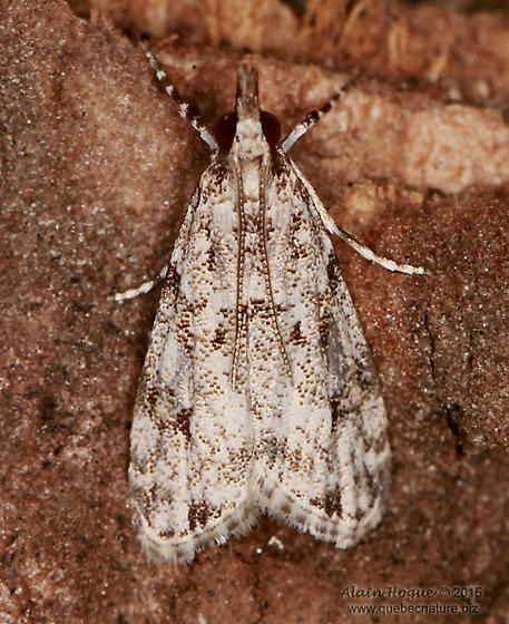 Moth - Eudonia heterosalis