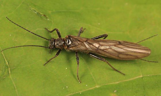 Stonefly - Paracapnia - female