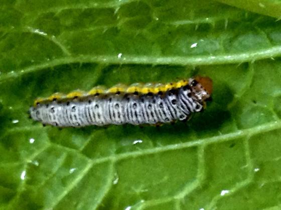 Caterpillar on turnip greens - Evergestis rimosalis