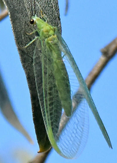 Large Green Lacewing - Chrysopa nigricornis