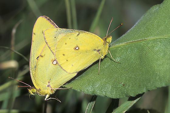 Mating Orange Sulphurs - Colias eurytheme - male - female