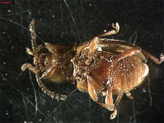 Endomychidae - Danae testacea