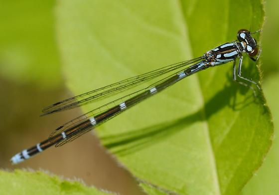 Subarctic Bluet - Coenagrion interrogatum - female
