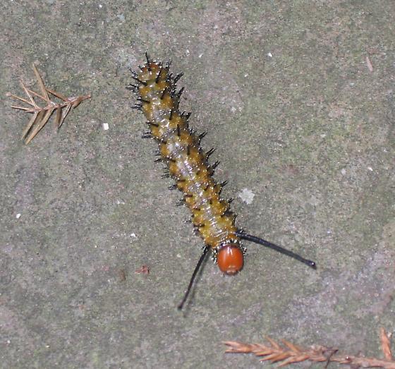 Caterpillar - What Kind? - Anisota stigma