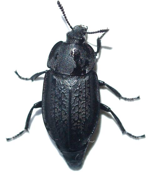 Carrion Beetle Heterosilpha Ramosa Bugguide Net