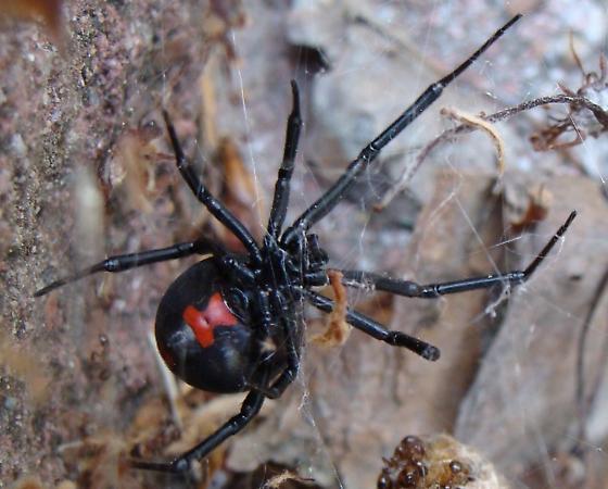 Southern Black Widow - Latrodectus mactans - female