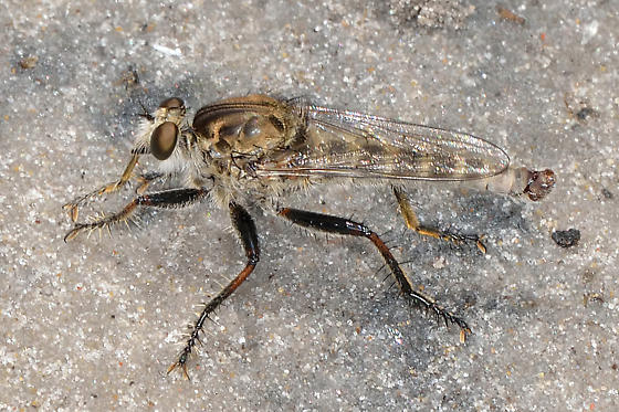Unknown Robberfly - Proctacanthella robusta - male