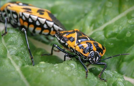 Harlequin Bug {Murgantia histrionica} - Murgantia histrionica - male - female