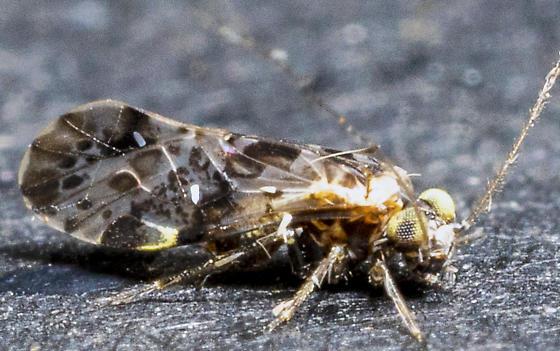 Trichoptera? - Trichadenotecnum slossonae