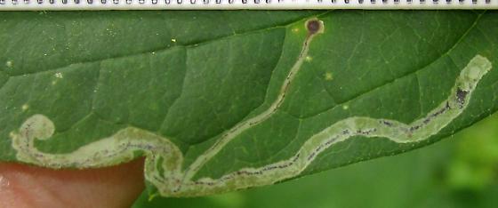 Phytomyzinae mine - on Clematis vine - Phytomyza loewii