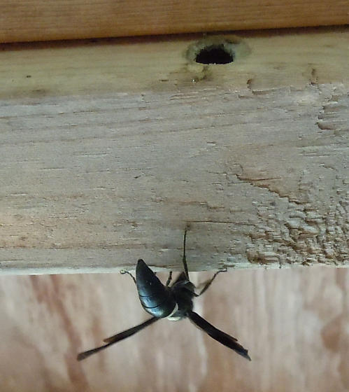 Unidentified wasp emerging from a Xylocopa dwelling - Monobia quadridens