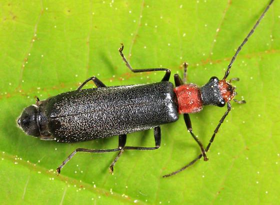 Canthatid - Dichelotarsus punctatus - female