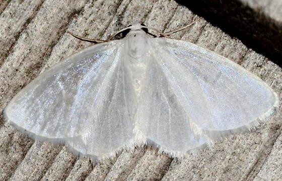 White Spring Moth - Lomographa vestaliata