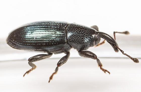 Aulacobaris lepidii - male