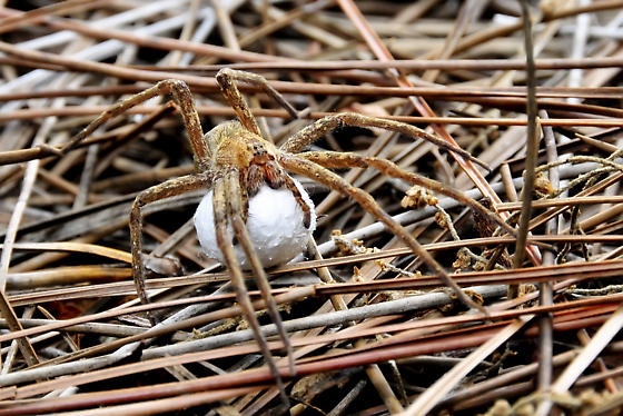 Nursery Web Spider (Pisaurina mira) - carrying egg sac - Pisaurina mira - female