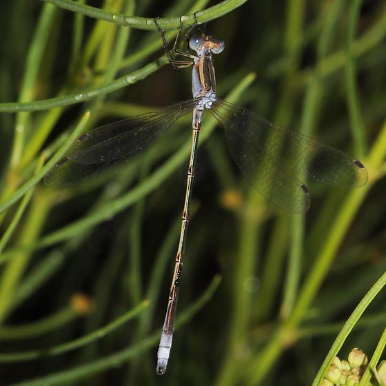 Plateau Spreadwing - Lestes alacer - male