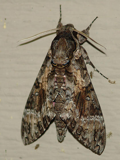 Pink-spotted Hawkmoth - Agrius cingulata