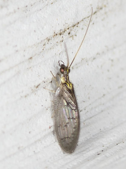 Unidentified Insect  - Sympherobius occidentalis