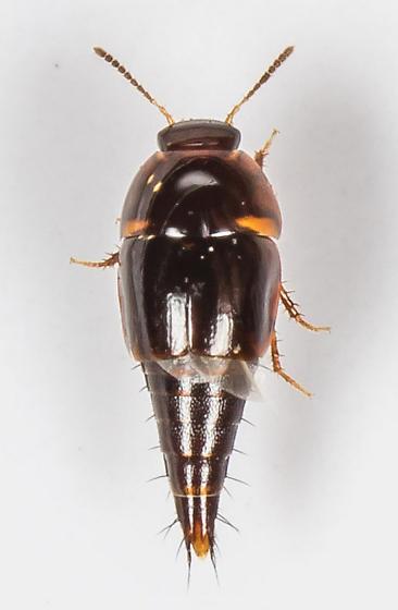 Rove Beetle - Coproporus laevis - male