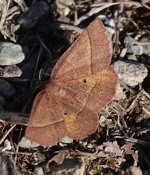 Brown moth with line and two dark dots - Metarranthis obfirmaria - female