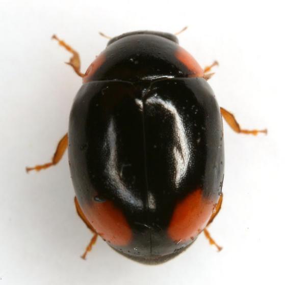 Brachiacantha quadrillum LeConte - Brachiacantha quadrillum