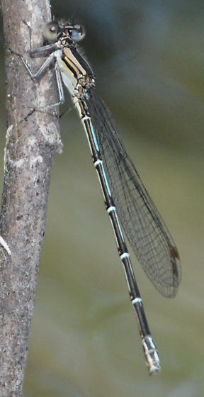 Damselfly in Montell, Texas - unknown ID - Argia translata - female
