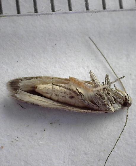 Blotch mine of Antennaria plantaginifolia - Scrobipalpopsis petrella