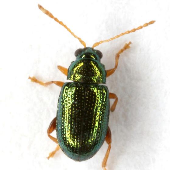 Crepidodera