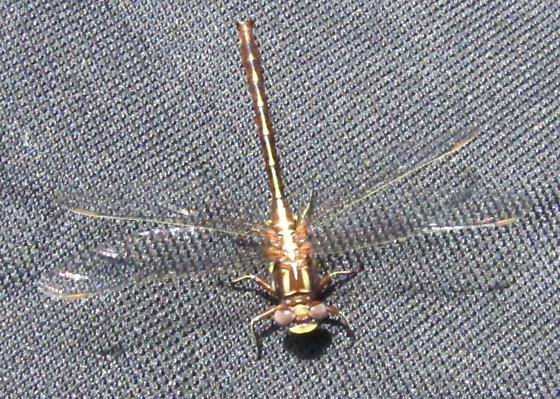 Ashy Clubtail - Phanogomphus lividus
