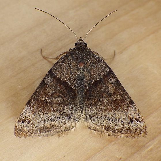 Erebidae: Caenurgina crassiuscula - Caenurgina crassiuscula