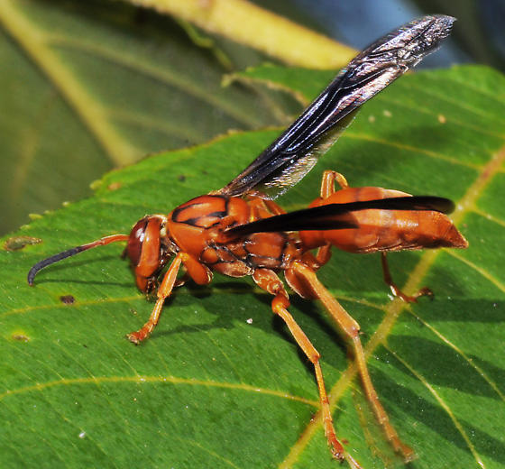 Black Flower Wasp From Australia: Large Red Wasp