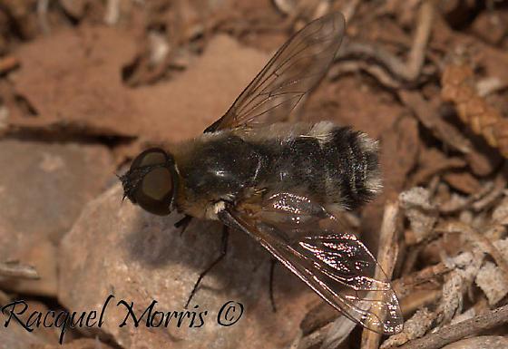 Bombyliidae, Syrphidae or Oestridae? - Villa