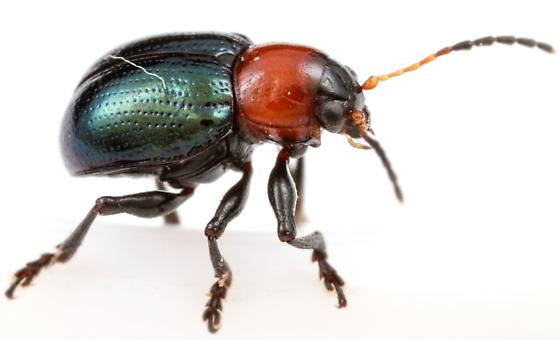 Eumolpinae? - Typophorus