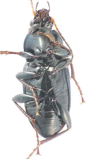 another Pterostichini? - Poecilus chalcites