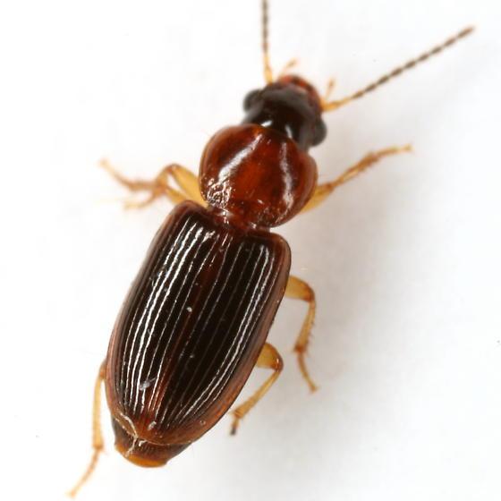 Stenolophus dissimilis Dejean - Stenolophus dissimilis