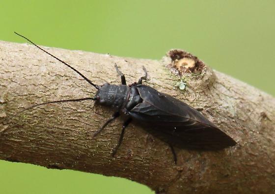 bug - Sialis