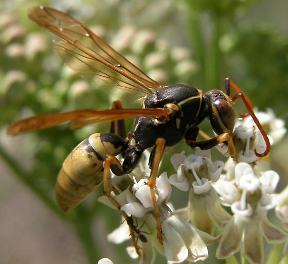 Paper Wasp? - Polistes aurifer