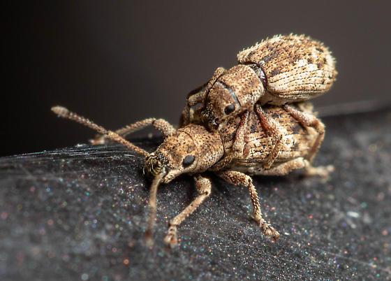 Mass mating - Pseudoedophrys hilleri