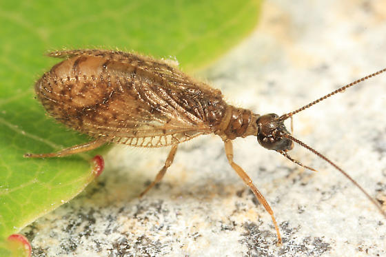 gravid Brown Lacewing - Psectra diptera - female