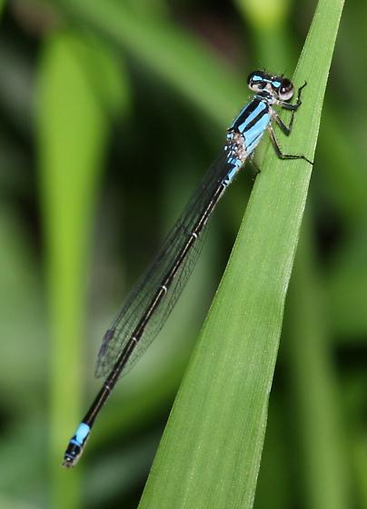 Purple Bluet - Enallagma cardenium - female