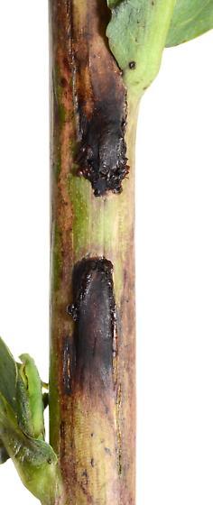 Ophiomyia subcuticular stem miner of Lactuca c.f. canadensis - Ophiomyia chondrillae