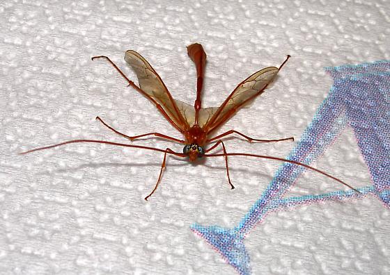 Enicospilus americanus - Enicospilus - male
