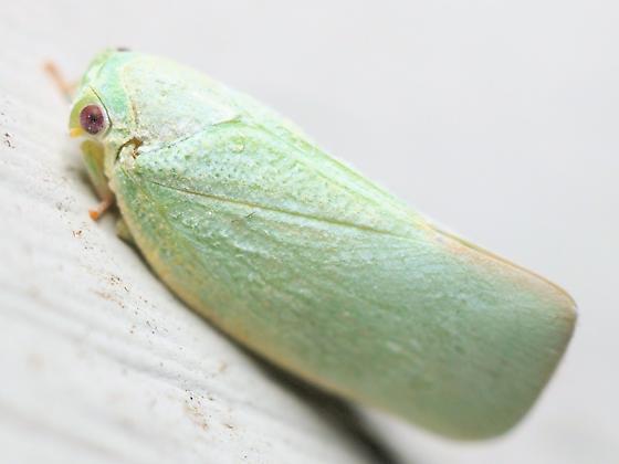 Northern Flatid or Ormenoides sp.? - Flatormenis proxima