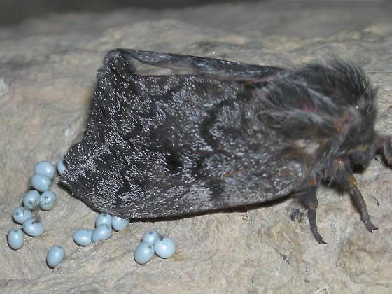 Pandora Pine Moth - Coloradia pandora - female