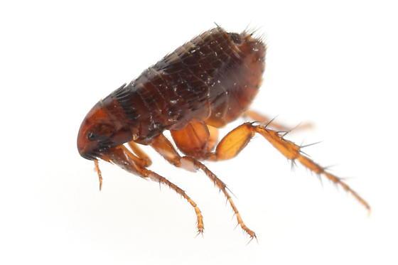 Flea - Ctenocephalides