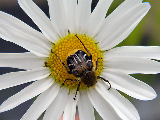 mystery beetle on oxeye daisy - Trichiotinus assimilis