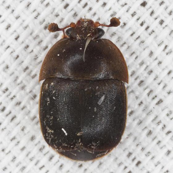 Small Hive Beetle - Aethina tumida