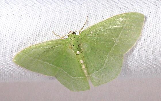 Green geometer - Nemoria mimosaria - male