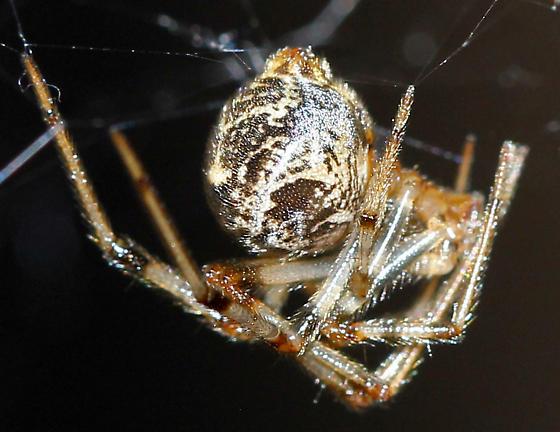 Which spider is this? - Parasteatoda tepidariorum