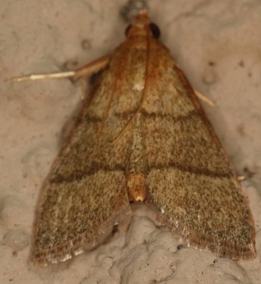 Crambidae - Hypsopygia nostralis